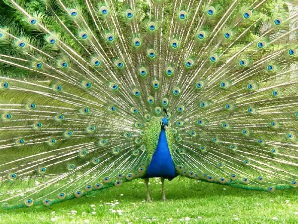mơ thấy chim công